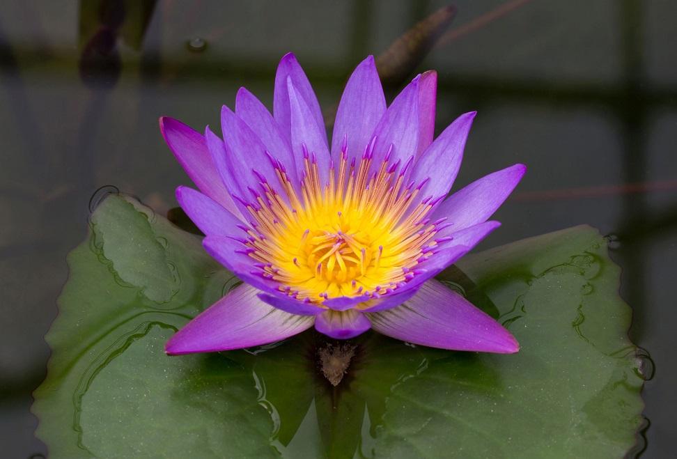 Die Sprache der Blumen: Lotos/Lotus
